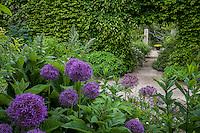 Pathway by mixed border with Alliums through Carpinus (Hornbeam) hedge into secret garden room; Gary Ratway garden