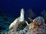 hawksbill sea turtle (Eretmochelys imbricata) is a critically en; hawksbill sea turtle (Eretmochelys imbricata) is a critically endangered