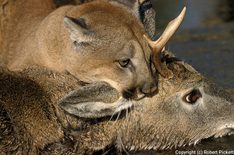 Cougar, Mountain Lion or Puma Felis concolor, Minnesota USA, on deer kill, controlled situation, hunting, predator.USA....