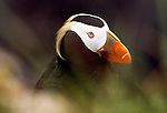 Close-up of tufted puffin, Pribilof Islands, Alaska