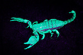 Emperor Scorpion (Pandinus imperator) fluorescing under UV light in the dark.