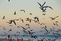 A flock of seagulls fly over Santa Monica Bay on Tuesday, October 26, 2010.