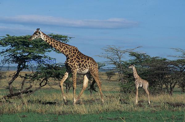 Baby Masai Giraffe with an adult (Giraffa camelopardalis tippelskirchi), Masai Mara, Kenya..