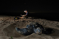 Endangered Leatherback Turtle and research biologist.nesting at Sandy Point Wildlife  Refuge.St Croix, U.S. Virgin Islands