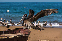 Nature Art Photograph of a Pelican perched on an old wooden fishing boat along the Pacfic Ocean in Puerto Vallarta, Mexico.