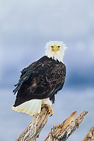 Bald eagle perched on a stump in Homer, Alaska. Found only in North America, Bald Eagles are more abundant in Alaska than anywhere else in the United States.