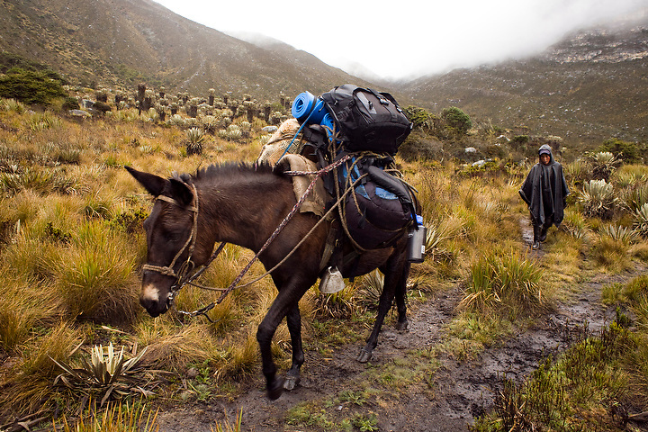 COLOMBIA, SOUTH AMERICA--- ..The Parque Nacional Natural de Sierra Nevada del Cocuy, Chita y Güicán (commonly called the Parque Nacional Natural El Cocuy) in Colombia, is a 306,000 hectare (about 1181 square miles) park in Northwestern Colombia. Up until a few years ago, much of the park area was controlled by Colombian guerillas, but is now mostly safe and has become an increasingly popular destination for local and foreign tourists. The park includes 21 peaks over 16, 400 feet with the highest peak, Ritacuba Blanco, at 17483 feet. ..Ismael Muñoz, age 15, drives a burro carrying camping gear for tourists. ..Photos by Dennis Drenner for the New York Times. ..Assignment ID: 30077786A.