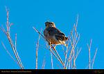 Prairie Merlin, Bosque del Apache Wildlife Refuge, New Mexico