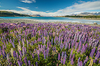 Flowering Lupins, Lake Tekapo, Mackenzie Country, New Zealand - stock photo, canvas, fine art print