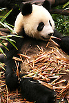 Chengdu Panda Research Station is the biggest facility of this kind in the world. Because of habitat destruction the giant panda is maybe the most famous endangered animal. It is home to some sixty giant panda  but also has some red pandas. Views of the pandas from much closer than is possible at most zoos.