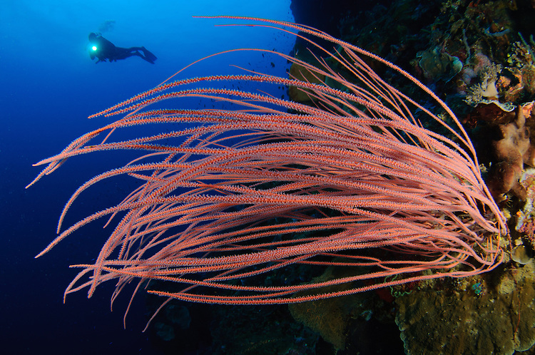 grand sea whip: Ellisella grandis or sp. with diver, Gorontalo, Indonesia