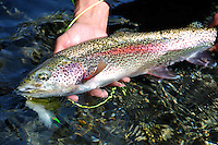 A heavily spotted rainbow trout caught on a small stream in south central Alaska.
