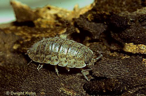 1Y16-003z  Sow Bug