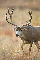 Mule deer (Odocoileus hemionus)trophy buck during autumn rut