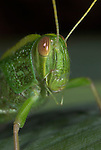 Jungle Grasshopper, Orthoptera sp, Close up of face showing jaw, Thailand, green, portrait