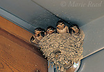 Barn Swallow (Hirundo rustica) five nestlings near fledging age, in nest located on a sprinkler fixture in a building, New York, USA<br /> Slide # B114-154