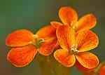 Close-up of Western wallflower (Erysimum capitatum) bloom