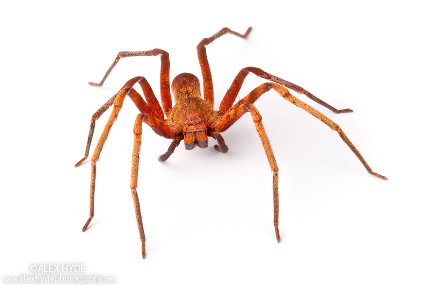Huntsman Spider {Sparassidae} photographed on a white background in mobile field studio in tropical rainforest. Danum Valley, Sabah, Borneo, Malaysia.