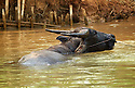 Water buffalo refreshes in a river. Water buffalos are widely used for most agricultural jobs in Burma.