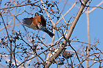 An American Robin hovers momentarily near a berry on a tree branch