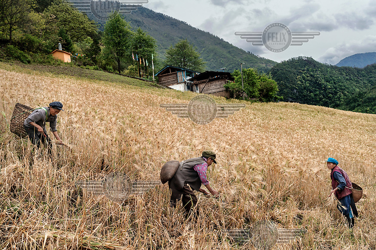 Nu villagers harvest barley in Chal one of many fertile villages on the banks of the Nujiang River.