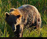 Alaskan Coastal Brown Bear in Sedge Grass at Sunset, Silver Salmon Creek, Lake Clark National Park, Alaska