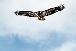 Immature Bald Eagle soars over the Chilkat River, Chilkat Bald Eagle Preserve, Haines, Alaska
