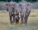 African elephants and calf, Amboseli National Park, Kenya