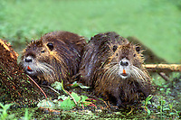 665955038 two wild adult nutria myocastor coypus share a log on a duckweed covered pond in an audubon sanctuary in louisiana