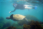 GALAPAGOS - SEPTEMBER 26, 2007:  Edie Bouc, of Laguna Beach California, snorkels with a sea turtle in the Galapagos on September 26, 2007 in Ecuador.  (PHOTOGRAPH BY MICHAEL NAGLE)