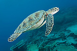 Maarehaa Kandu, Maarehaa Island, Huvadhoo Atoll, Maldives; a Green Sea Turtle (Chelonia mydas) swimming in blue water over the coral reef