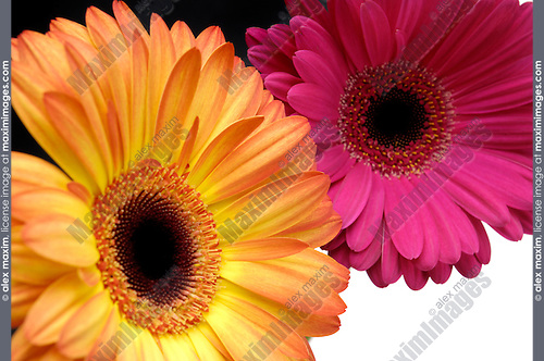 Bright yellow and purple Gerbera Daisies on abstract artistic black white background