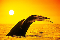 Humpback Whale (Megaptera novaeangliae) fluke-up dive or fluking at sunset, Hawaii, USA, Pacific Ocean. Digital composite