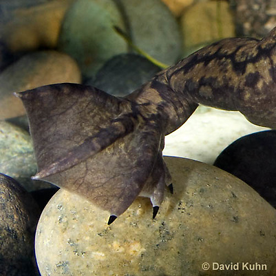 1102-1004  Detail of Three Sharp Black Claws on Rear Foot, African Clawed Frog Underwater (Cape Platanna), Xenopus laevis  © David Kuhn/Dwight Kuhn Photography