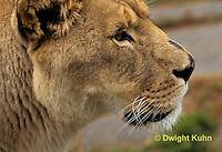 MA39-003a  African Lion - Panthera leo