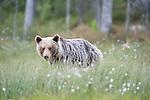 European Brown Bear, Ursus arctos arctos, Kuhmo, Finland, Lentiira, Vartius near Russian Border, walking across marshland with cottton grass, light brown colour,