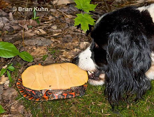 1R13-9043  Painted Turtle - Springer spaniel investigating - Chrysemys picta. © Brian Kuhn/Dwight Kuhn Photography