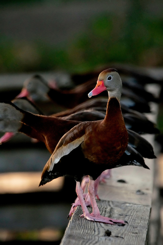 Black-bellied Whistling Duck with friends.  Wakodahatchee Wetlands, Delray Beach, FL, United States