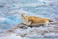 Harbor seals and icebergs, Nassau Fjord, Prince William Sound, southcentral, Alaska.