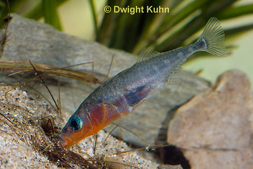 1S22-511z  Male Threespine Stickleback shaping nest by pushing plant materials with it mouth, mating colors showing bright red belly and blue eyes,  Gasterosteus aculeatus,  Hotel Lake British Columbia