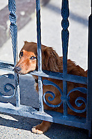 Friendly guard dog, a cute Dachshund, rests on gate at Ballyhack, County Wexford, Southern Ireland