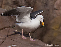 1128-1008  Western Gull, Larus occidentalis  © David Kuhn/Dwight Kuhn Photography