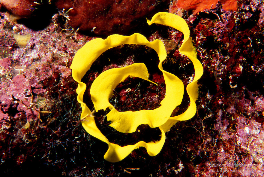 Milne Bay, Papua New Guinea; Nudibranch egg casing , Copyright © Matthew Meier, matthewmeierphoto.com