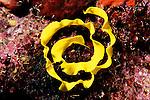 Milne Bay, Papua New Guinea; Nudibranch egg casing , Copyright © Matthew Meier, matthewmeierphoto.com