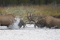 Elk, Wapiti, Cervus elaphus, bulls fighting in river,  Yellowstone NP,Wyoming, September 2005