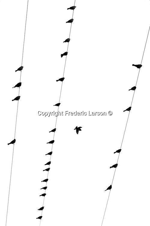 A graphic display of birds lined up on a telephone line in Napa Valley, California.
