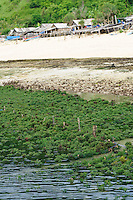 Seaweed being grown along the beach, Kutuh, Bali, Indonesia.