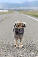 German Shepard mixed breed standing on a road by herself