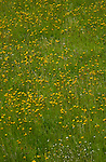 Dandylion flowers in meadow. Imst district, Tyrol/Tirol, Austria, Alps.
