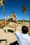 California: San Diego.  Giraffe at Wild Animal Park.  Photo #: casand103.  Photo copyright Lee Foster, 510/549-2202, lee@fostertravel.com, www.fostertravel.com